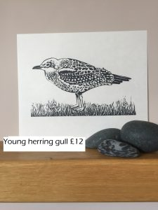 Young gull 3
